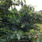 Süßkirschbaum in Brahmow